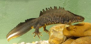 male-great-crested-newt-c-jim-foster-english-nature