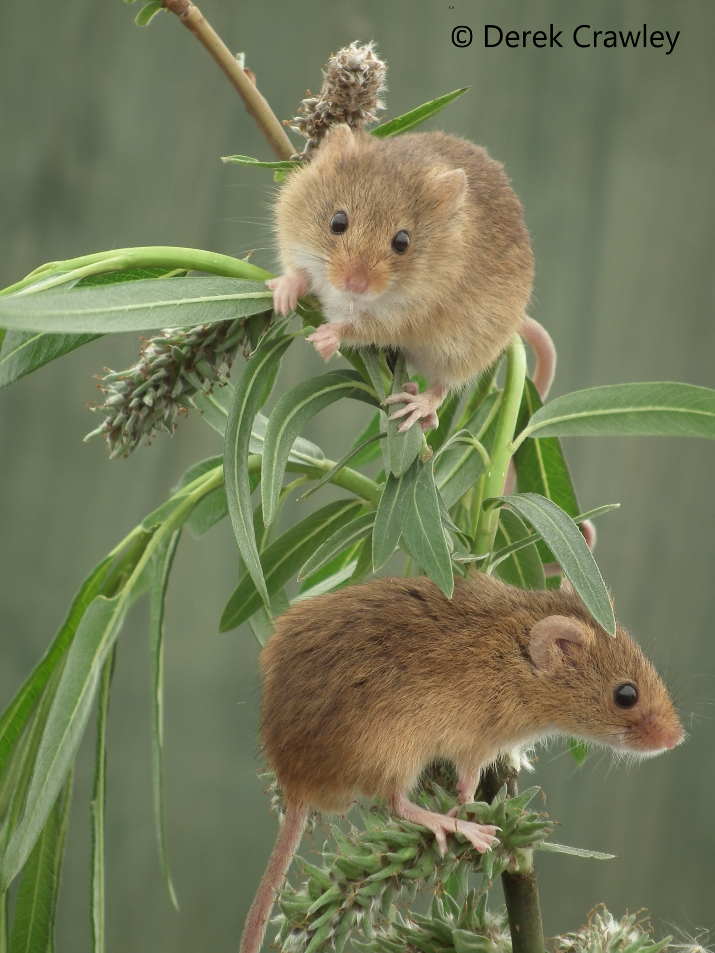 Harvest Mice copyright Derek Crawley